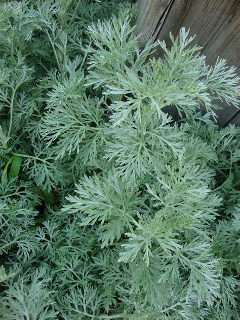 artemisia plant photo of the entire plant of wormwood artemisia arborescens powis castle posted by paul2032