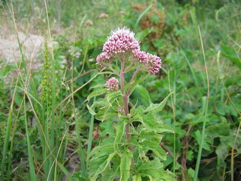 Purper leverkruid, eupatorium purpureum - Drachtplanten