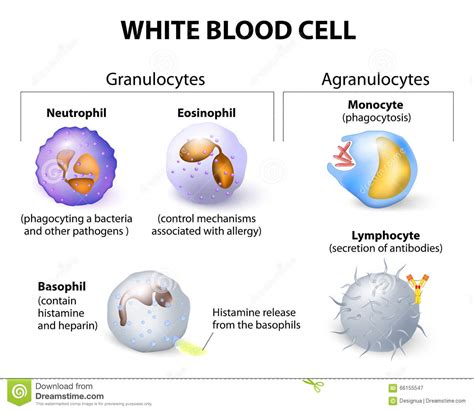 white types types of white blood cells pictures to pin on pinterest pinsdaddy