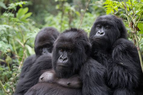mountain gorillas herpes virus similar humans