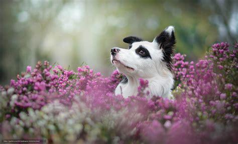 australian bureau tlcharger fond d 39 ecran border collie chien museau