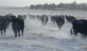 Animal Well-Being Amidst Weather Disasters - The Cattle Site