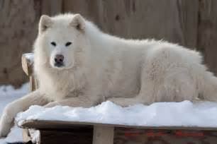 White Giant Alaskan Malamute