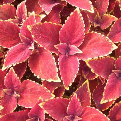 oxblood coleus plant images
