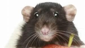Was Fressen Ratten : das fressen ratten bild der frau ~ One.caynefoto.club Haus und Dekorationen