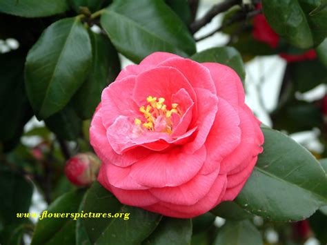 camellia flowers pictures red camellia flower pictures pictures of red camellia