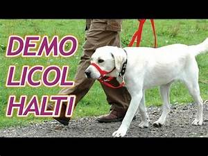 Video Pour Chien : d monstration du licol halti pour emp cher votre chien de tirer sur sa laisse youtube ~ Medecine-chirurgie-esthetiques.com Avis de Voitures