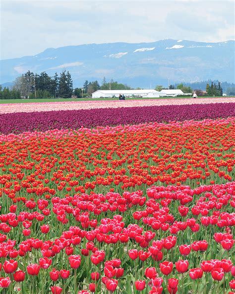 tulip farms in usa skagit tulip fields 32 surreal travel spots you won t believe exist in america popsugar