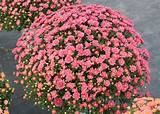 Fall mums provide an instant, colorful impact ...