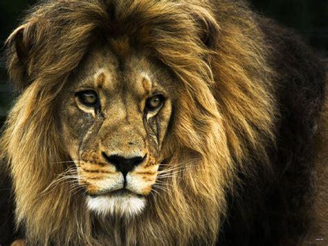 bing lions lion desktop wallpaper lion wallpaper hd