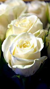 White Rose Bud Flower
