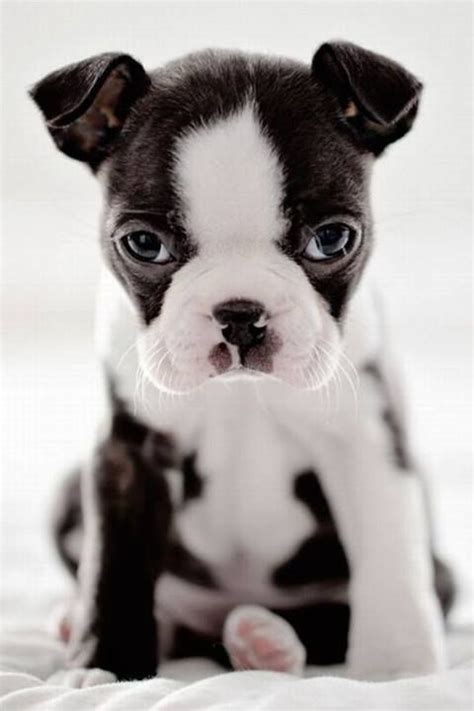 cute boston terrier dog pictures   love