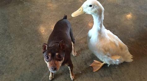 เมื่อหมาและเป็ดเพื่อนซี้ได้พบแม่ใหม่ ชีวิตใหม่ ทั้งคู่ก็ ...