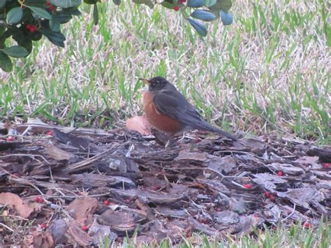 robin eating holly berries birds of a feather pinterest