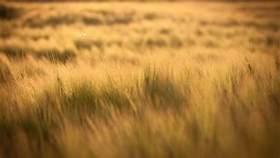 Barley Yellow Field Sun Filter Rays Orange