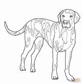 Coloring Dog Pages Dogs Hound Hunting Plott Drawing Coon Outline Lab Mastiff Whippet Fox Printable Realistic Template Superhero Basset Body sketch template