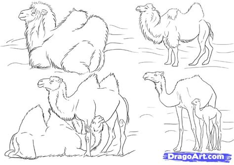 draw camels step  step desert animals animals