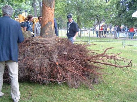 cedar tree root system palm tree roots depth related keywords palm tree roots depth long tail keywords keywordsking