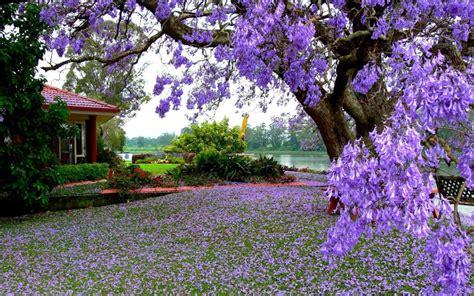 purple blooming tree hd wallpaper hd latest wallpapers