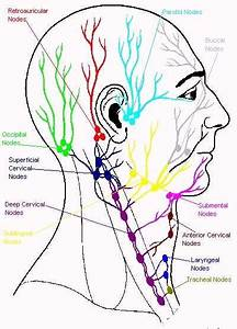 Lymphatic System Of Head  U0026 Neck Jpg