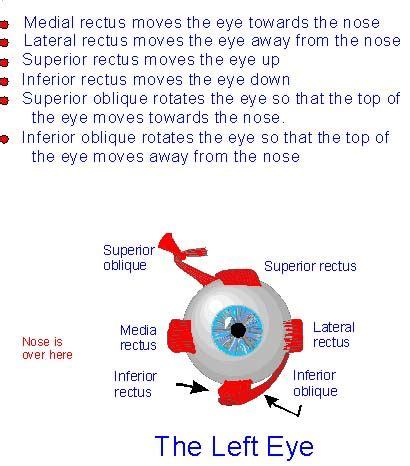 diagram  extraocular muscles