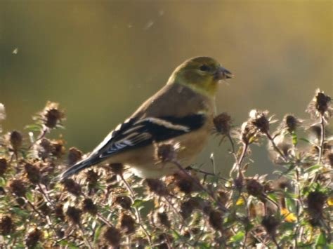 capt mondo s photo blog 187 blog archive 187 goldfinch eating