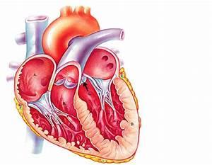 Unit Iv  Anatomy Of The Heart  U0026 Blood Vessels