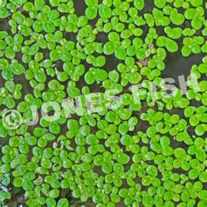 Algae and Aquatic Weed Identification Guide jonesfish com