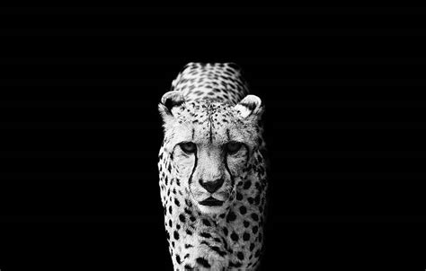 stunning black  white animal portraits  nicolas