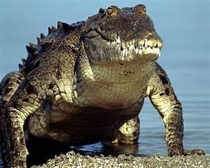Best Jungle Life  Crocodiles  U0026 Crocodile Pics