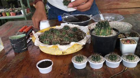 วิธีการปักชำหน่อแคคตัส ง่ายๆ ทำเองได้🌵#cactus#แคคตัส#ยิมโน ...