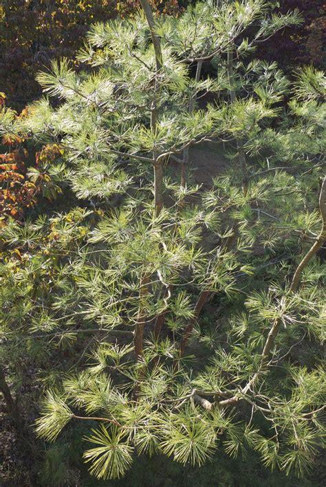 niwaki red pine pruning   furukawa nursery