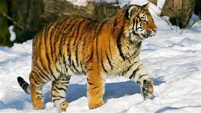 Tiger Siberian Windows Spotlight Russia Sikhote Mountains