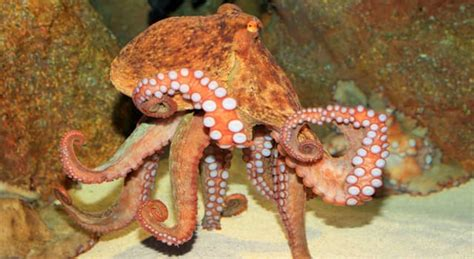what is the plural of octopus trivia answers quizzclub