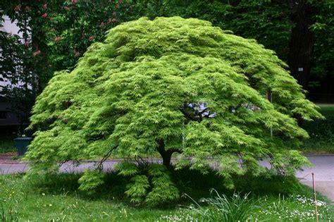 best fertilizer for japanese maple trees japanese maples specimen trees sun tolerance mulch pruning watering fertilizing