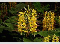 Flowering Ginger Plants Profile