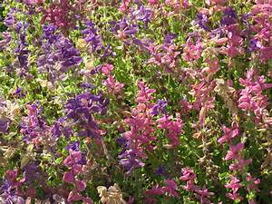 La Sauge Plante : la sauge une sacr e plante vid o pour en savoir un peu plus ~ Melissatoandfro.com Idées de Décoration