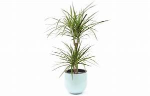 Grande Plante Verte D Intérieur : plante verte d 39 int rieur dracaena livraison par un fleuriste 7j 7 en 4h l 39 agitateur floral ~ Voncanada.com Idées de Décoration