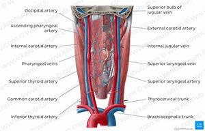 Diagram    Pictures  Blood Vessels Of The Pharynx  Anatomy