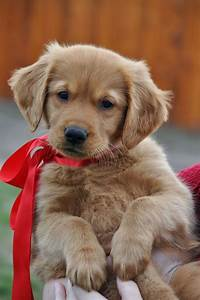 Golden Red River : best 25 golden retriever puppies ideas on pinterest golden retriever names retriever puppy ~ Orissabook.com Haus und Dekorationen