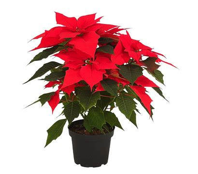 weihnachtsstern pflanze deko weihnachtsstern electric dehner garten center