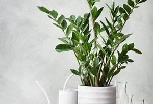 Pflanzen Die Nicht Viel Licht Brauchen : gro e zimmerpflanzen die wenig licht brauchen zimmerpflanzen die wenig licht brauchen ~ Markanthonyermac.com Haus und Dekorationen