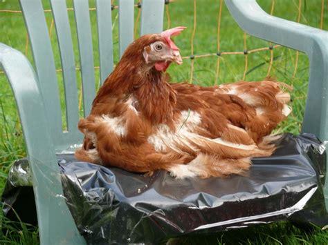 quelle est la dur 233 e de vie d une poule