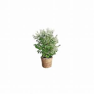 Cache Pot Plante : breynia nivosa cache pot plantes et jardins ~ Teatrodelosmanantiales.com Idées de Décoration