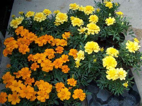 piante da vaso tagetes tagete tagetes erecta tagetes