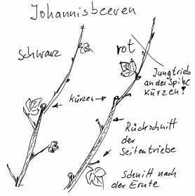 Wann Schneidet Man Apfelbäume : gartenkalender juli johannisbeeren schnitt nach der ernte ~ Lizthompson.info Haus und Dekorationen