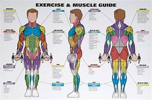 Men U0026 39 S Exercise  U0026 Muscle Guide Chart