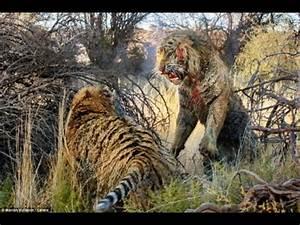 tiger vs tiger fight to death - tiger vs leopard real ...