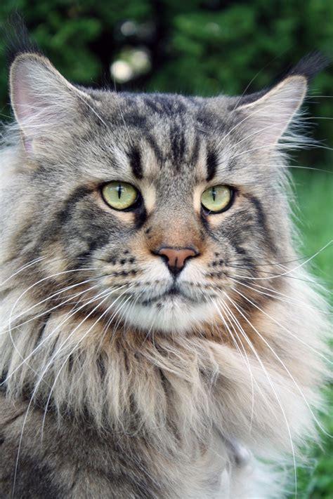 picture cat animal portrait cute pet head gray