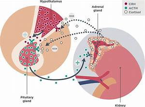 Cortisol Regulation And Endogenous Hypercortisolism